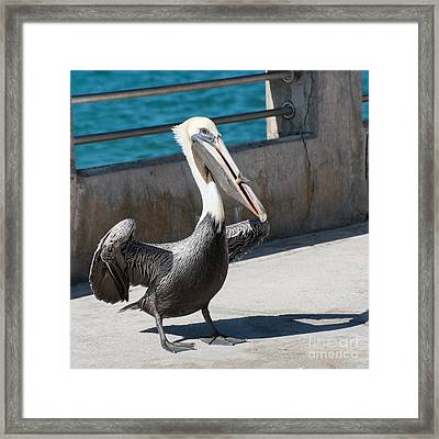 Pelican With Fish White Street Pier Key West - Square Framed Print by Ian Monk