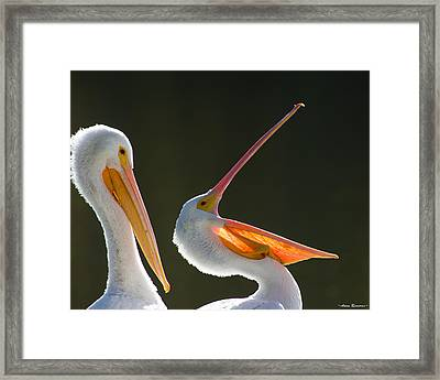 Pelican Yawn Framed Print by Avian Resources