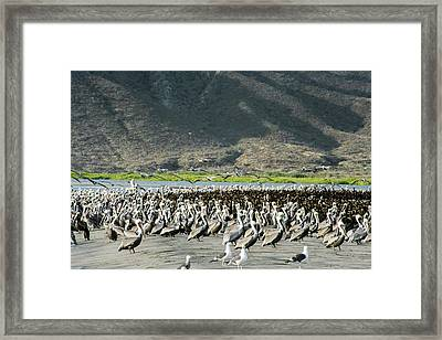 Pelicans And Cormorants On A Beach Framed Print by Christopher Swann