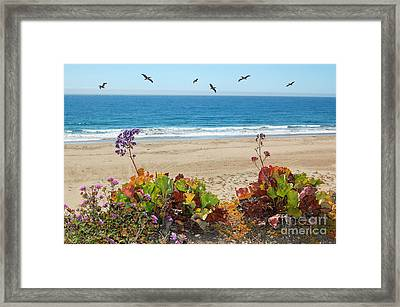 Pelicans And Flowers On Pismo Beach Framed Print by Debra Thompson