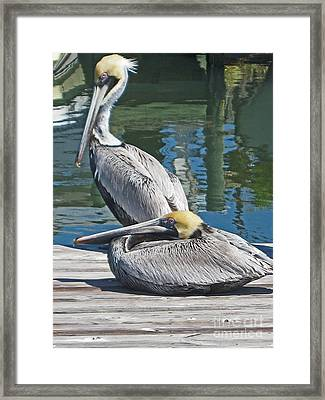 Pelicans At Rest Framed Print
