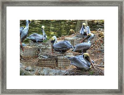 Pelicans By The Dock Framed Print