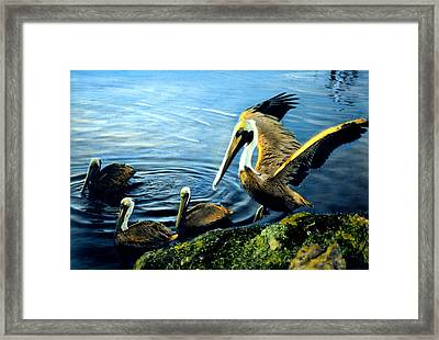 Pelicans Framed Print by Cindy McIntyre