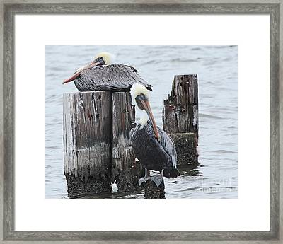 Pelicans Enjoying Lake Ponchartrain Framed Print