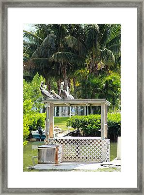 Framed Print featuring the photograph Pelicans' Fish Prep Station by R B Harper