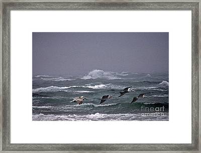 Pelicans In A Row Framed Print by Skip Willits