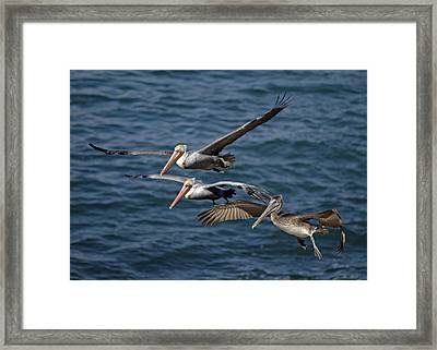 Pelicans In Flight Framed Print