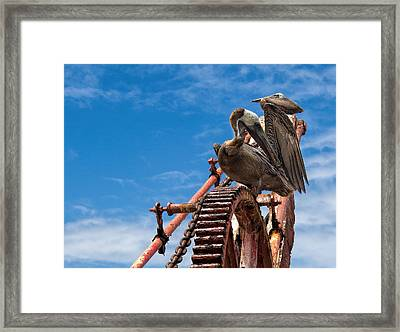 Pelicans In St. Croix Framed Print