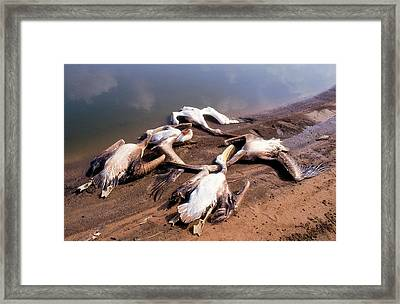 Pelicans Killed By Angry Fish Growers. Framed Print by Photostock-israel