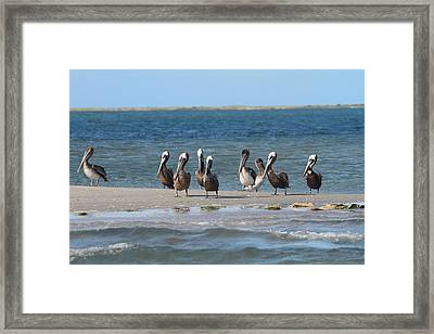 Pelicans Of Bird Island 7 Framed Print by Cathy Lindsey