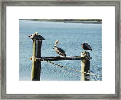 Pelicans On A Break Framed Print by Mel Steinhauer