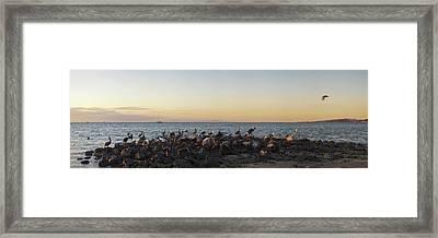 Pelicans On Rocks In La Paz, Baja Framed Print