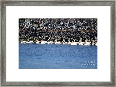 Pelicans On Slough  Framed Print by Gero