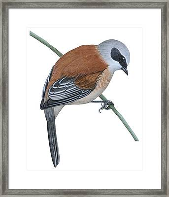 Penduline Tit  Framed Print by Anonymous