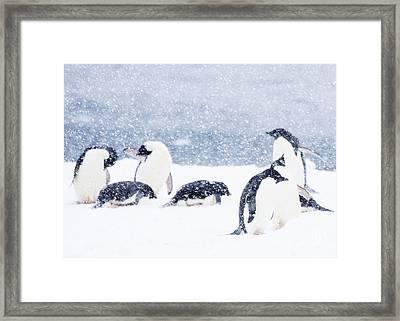 Penguins In The Snow Framed Print by Carol Walker