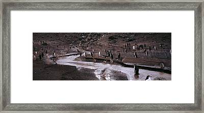 Penguins Make Their Way To The Colony Framed Print by Panoramic Images