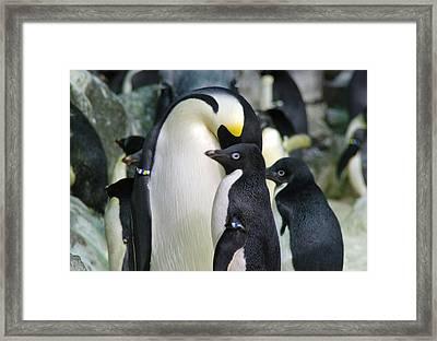 Penguins Framed Print by Pamela Schreckengost
