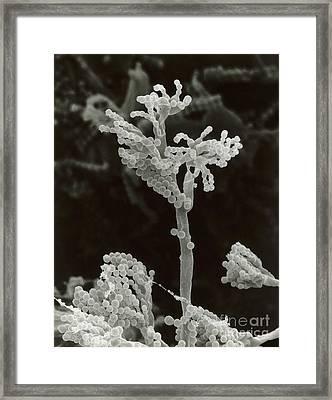 Penicillin Fungus Growing On Cheddar Framed Print