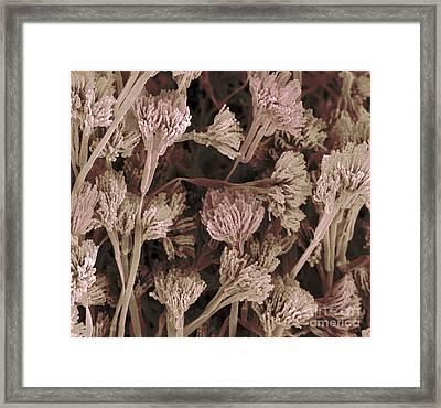 Penicillium Fruiting Bodies Framed Print