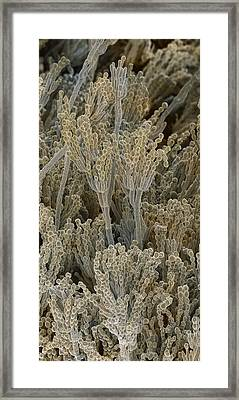 Penicillium Fungal Spores, Sem Framed Print by Power And Syred