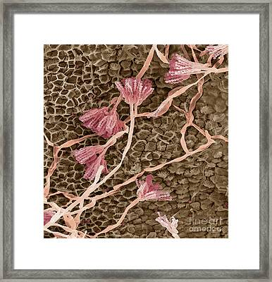 Penicillium Fungus Framed Print