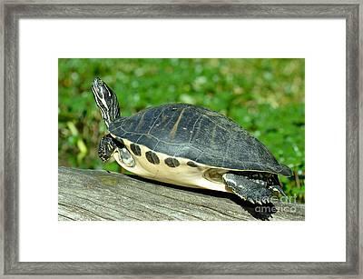 Peninsula Cooter Pseudemys Floridana Framed Print by John Serrao