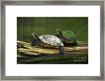Peninsula Cooter Turtles Framed Print by David N. Davis