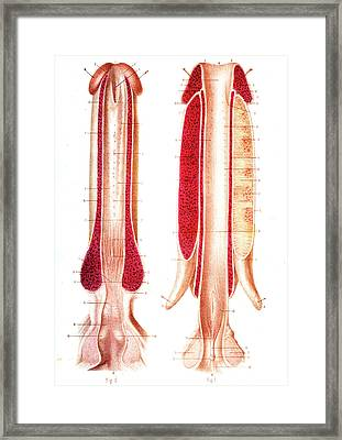 Penis Anatomy Framed Print by Collection Abecasis