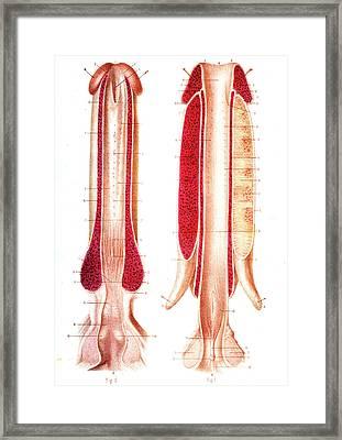 Penis Anatomy Framed Print