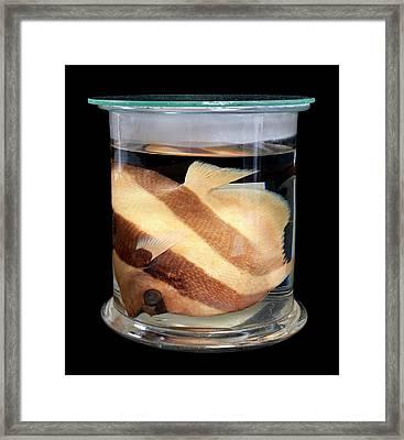 Pennant Coralfish Framed Print by Natural History Museum, London