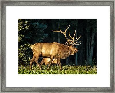 Pennsylvania Bull Elk Framed Print