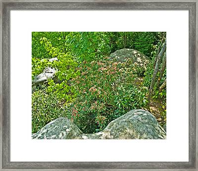 Pennsylvania State Flower Pla 537 Framed Print
