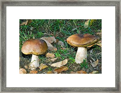 Penny Bun, Cap, Mushrooms In A Forest Framed Print by Nico Tondini