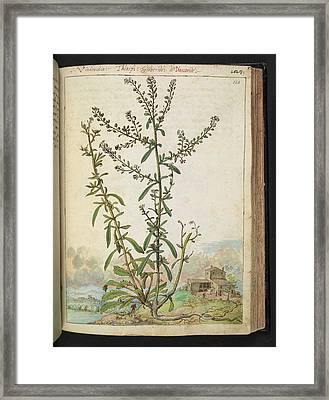 Pennycress (thlaspi Sp.) Framed Print by British Library