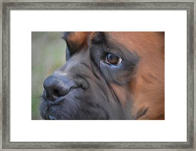 Pensive Boxer Framed Print by Linda Koelbel