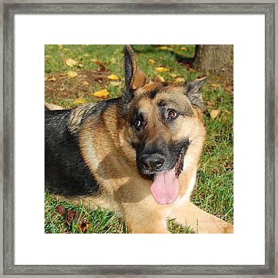 Pensive German Shepherd Framed Print
