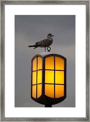 Pensive Gull Framed Print by Rexford L Powell