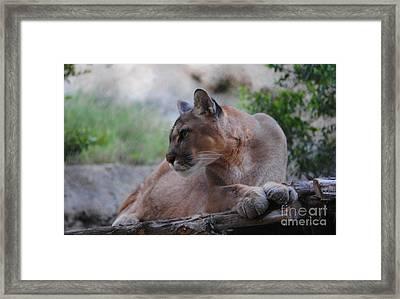 Pensive Puma Framed Print by DiDi Higginbotham