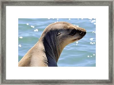 Pensive Sea Lion  Framed Print