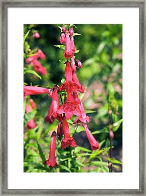 Penstemon Hartwegii Flowers Framed Print by Adrian Thomas