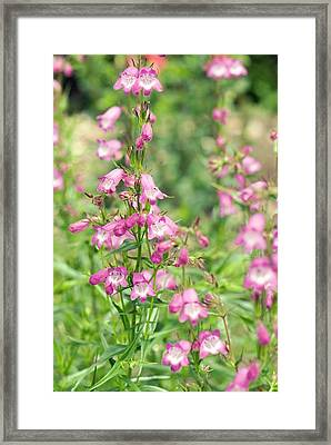 Penstemon 'pink Endurance' Flowers Framed Print by Adrian Thomas