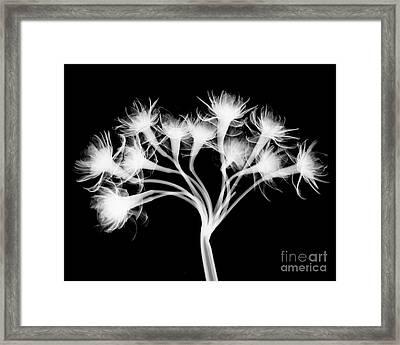 Pentaster Blossom X-ray Framed Print by Bert Myers