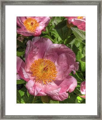 Peonies Aglow Framed Print