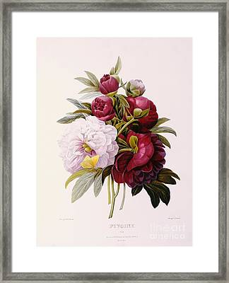 Peonies Engraved By Prevost Framed Print