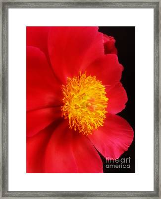 Peony 2 Framed Print by Heather L Wright