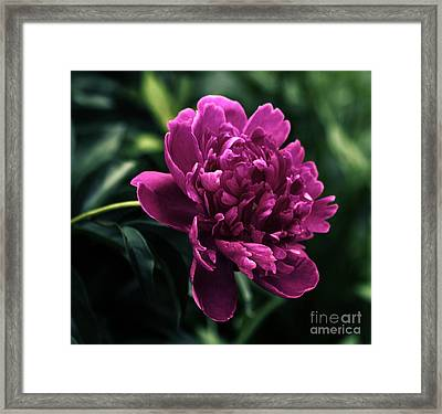 Framed Print featuring the photograph Peony 2014 by Marjorie Imbeau