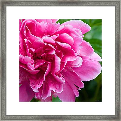 Peony After The Rain Framed Print