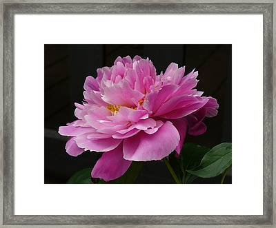 Peony Blossoms Framed Print