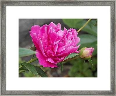 Peony Framed Print by Catherine Gagne