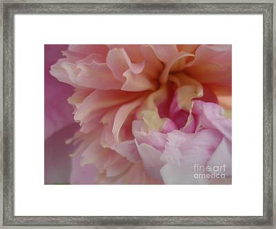 Peony Compassion Framed Print by Kim Heil